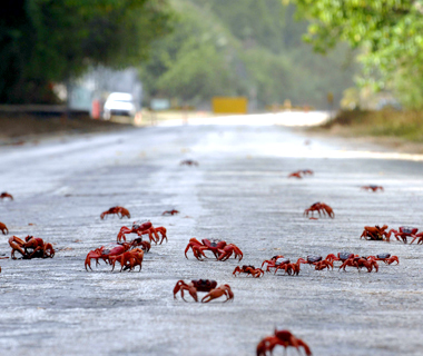 201107-w-migrations-red_crab