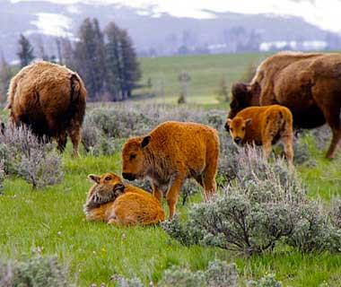 baby animals: Buffalo, Wyoming