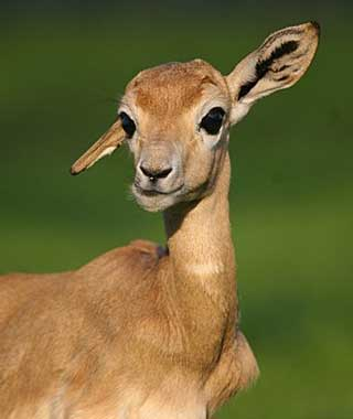 baby animals: Gazelle