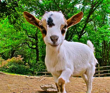 baby animals: Goat, Italy
