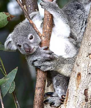 baby animals: Koala, Daintree, Australia