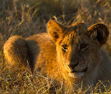 baby animals: Lion, Botswana