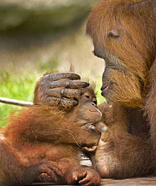 baby animals: Orangutan, New Orleans