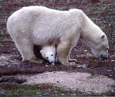 baby animals: Polar Bear, Churchill, Canada