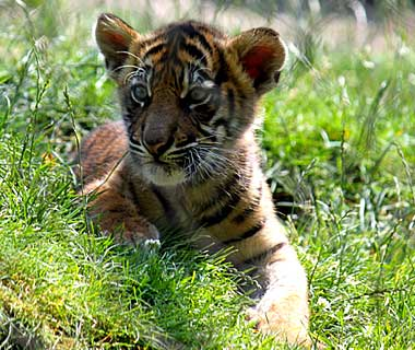201110-b-babyanimals-tiger