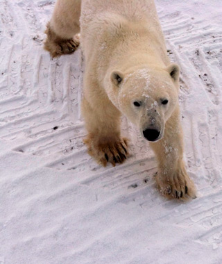 Churchill's polar bear