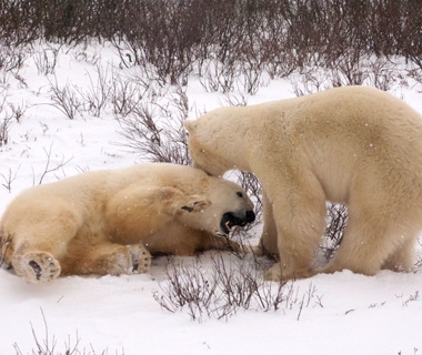 Churchill's Polar Bears