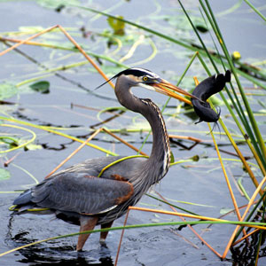 Lake Okeechobee Wildlife