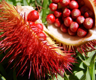 World's Weirdest Exotic Fruits: achiote