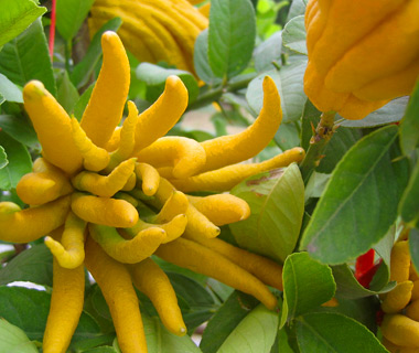 World's Weirdest Exotic Fruits: fingered citron