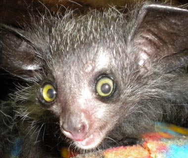 Cutest Baby Animals at U.S. Zoos: Loki, Aye-Aye, Philadelphia Zoo