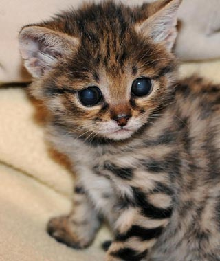Cutest Baby Animals at U.S. Zoos: Karoo, Black-Footed Cat, Brookfield Zoo