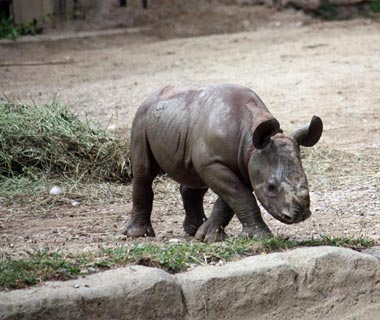 Cutest Baby Animals at U.S. Zoos: Juba, Eastern Black Rhinoceros, Cleveland Metroparks Zoo