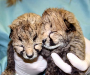 Cutest Baby Animals at U.S. Zoos: Gat and Lita, Cheetahs, Smithsonian National Zoological Park