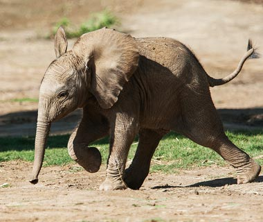Cutest Baby Animals at U.S. Zoos: Qinisa, Elephant, San Diego Zoo Safari Park