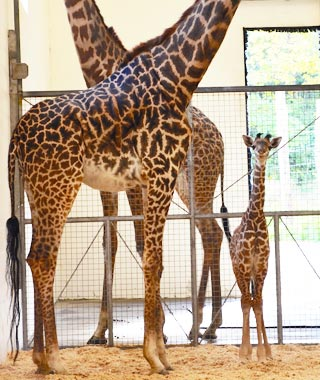 Cutest Baby Animals at U.S. Zoos: Lulu, Maasai Giraffe, Cincinnati Zoo