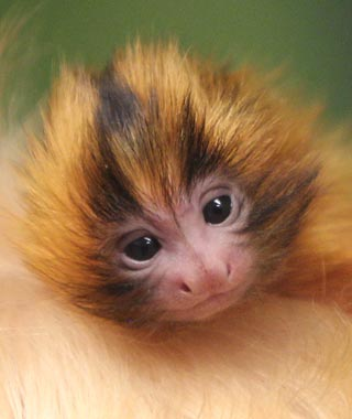 Cutest Baby Animals at U.S. Zoos: Bianca and Bernard, Golden Lion Tamarins, Kansas City Zoo, MO
