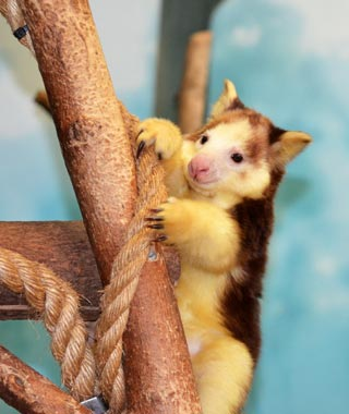 Cutest Baby Animals at U.S. Zoos: Bexley, Matschie's Tree Kangaroo, Saint Louis Zoo