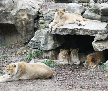 Cutest Baby Animals at U.S. Zoos: Mtai and Serafina, Lions, Saint Louis Zoo