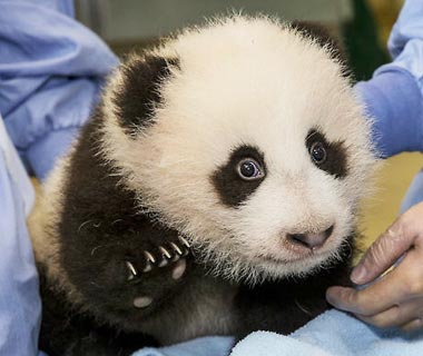 Cutest Baby Animals at U.S. Zoos: Xiao Liwu, Giant Panda, San Diego Zoo