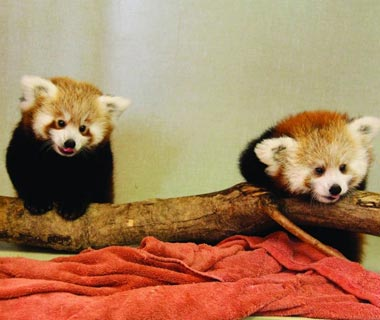 Cutest Baby Animals at U.S. Zoos: Justin, Red Panda, Memphis Zoo