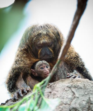 Cutest Baby Animals at U.S. Zoos: Toumi, Saki Monkey, Houston Zoo