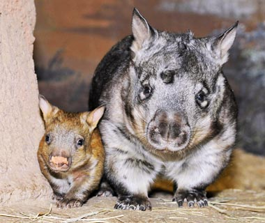Cutest Baby Animals at U.S. Zoos: Southern Hairy-Nosed Wombat, Brookfield Zoo