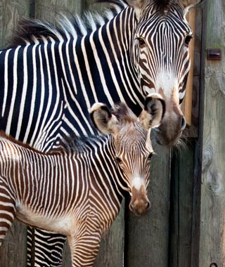 Cutest Baby Animals at U.S. Zoos: Kito, Grevy's Zebra, Lincoln Park Zoo