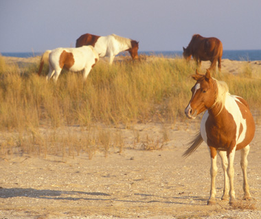Best Beaches on Earth: Assateague Beach, Virginia