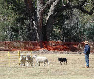 Coolest Vacations for Dog Lovers: Australia National Sheep Dog Trials