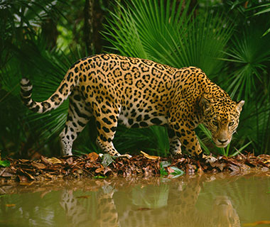 Craziest Places for Cat Lovers: Jaguar Spotting in Belize