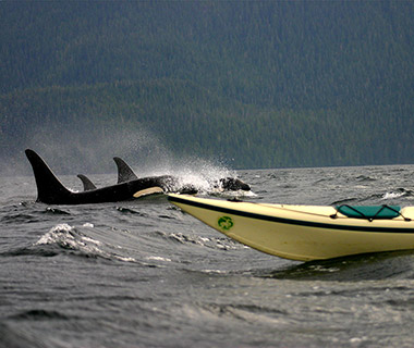 Animal Encounters: Killer Whales at Johnstone Strait, Canada