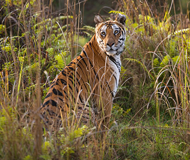 Animal Encounters: Bengal Tigers in andhavgarh National Park, India