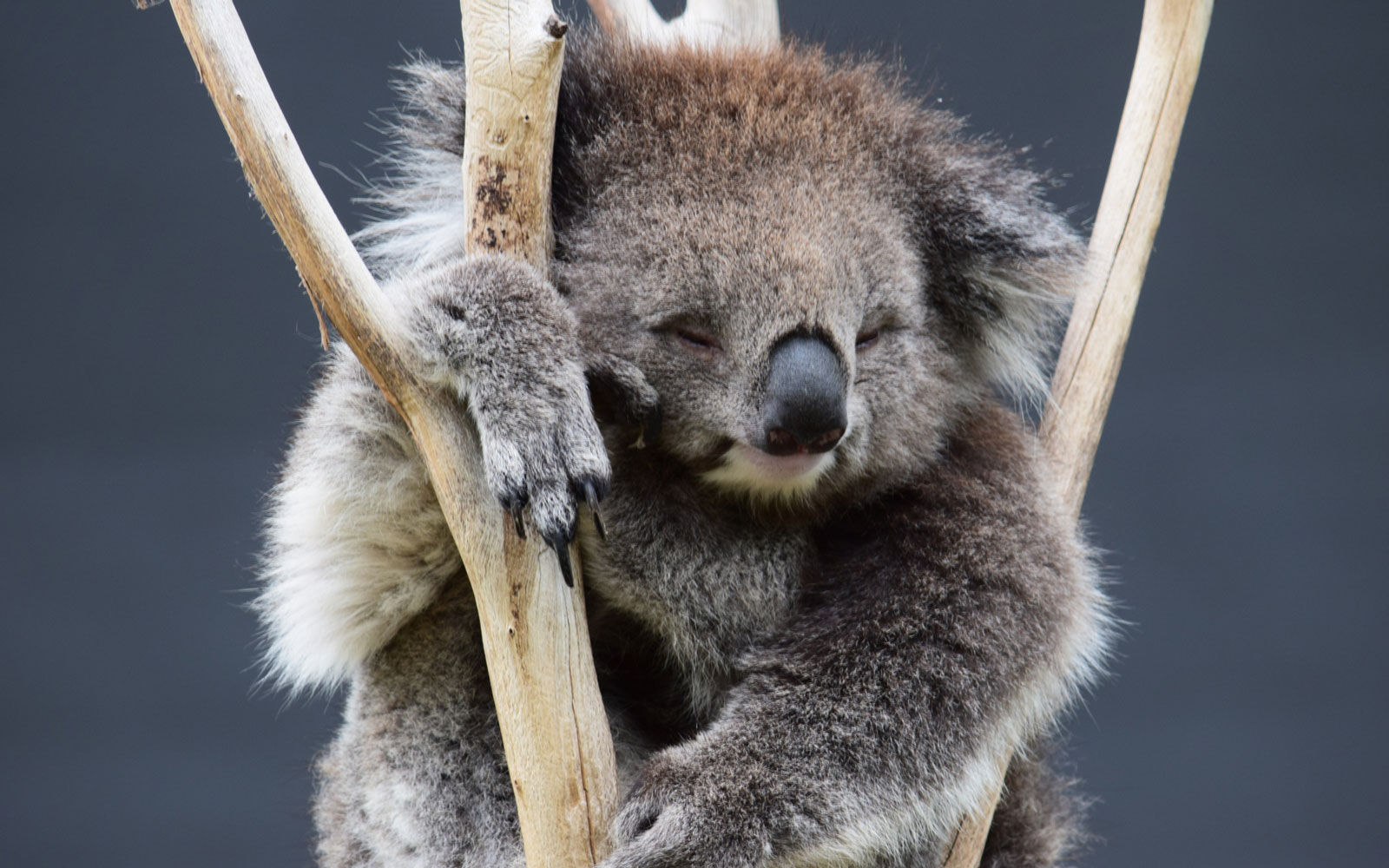 Best Places to See Baby Animals: Koala Joeys, Australia