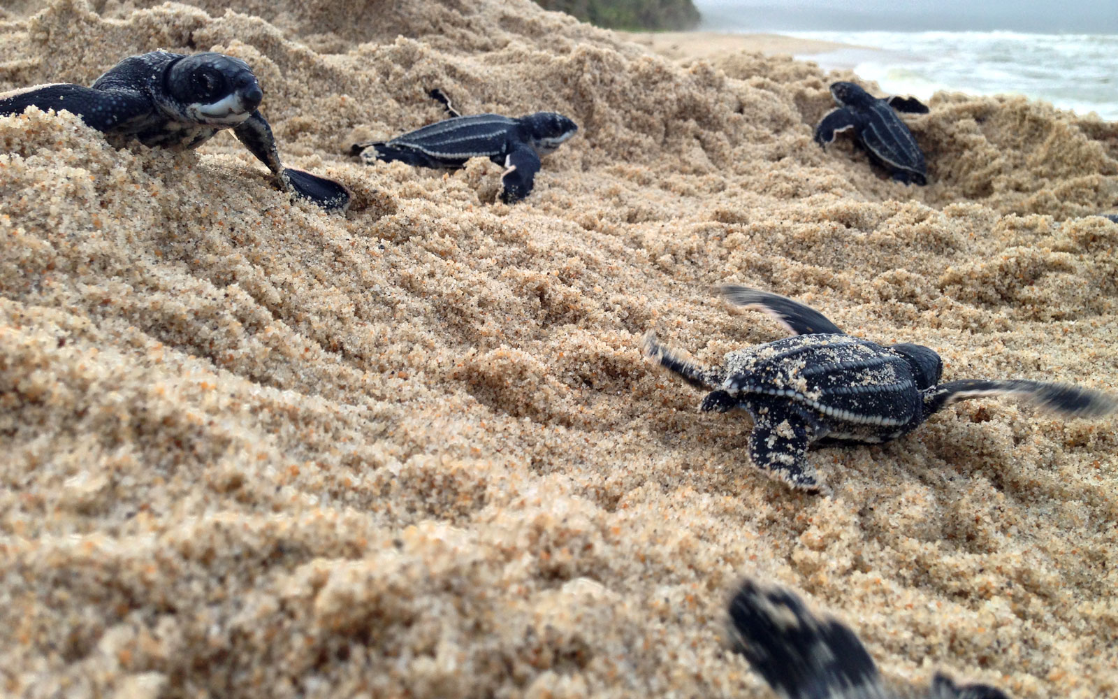 Leatherback Turtle Hatchlings, Trinidad and Tobago