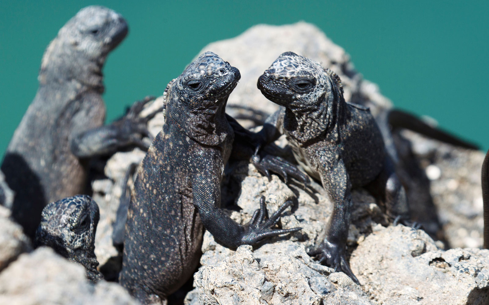 Best Places to See Baby Animals: Marine Iguanas, Ecuador