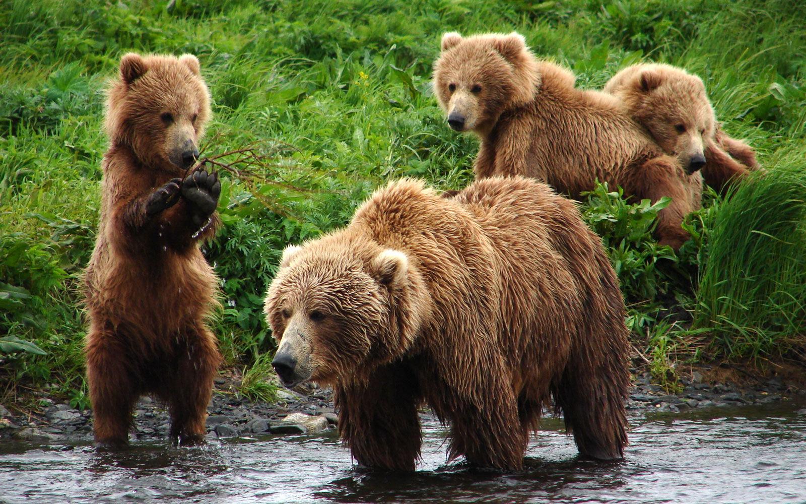 Best Places to See Baby Animals: Kodiak Brown Bear Cubs, Kodiak, AK