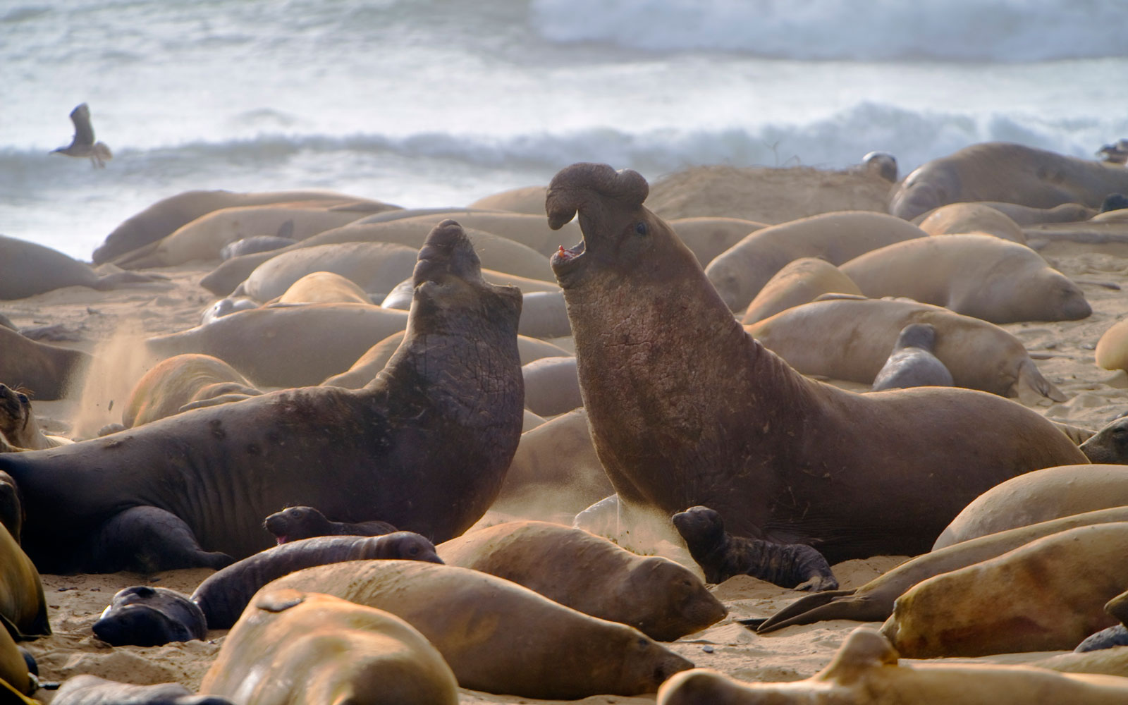 Best Places to See Baby Animals: Elephant Seal Pups, Pescadero, CA