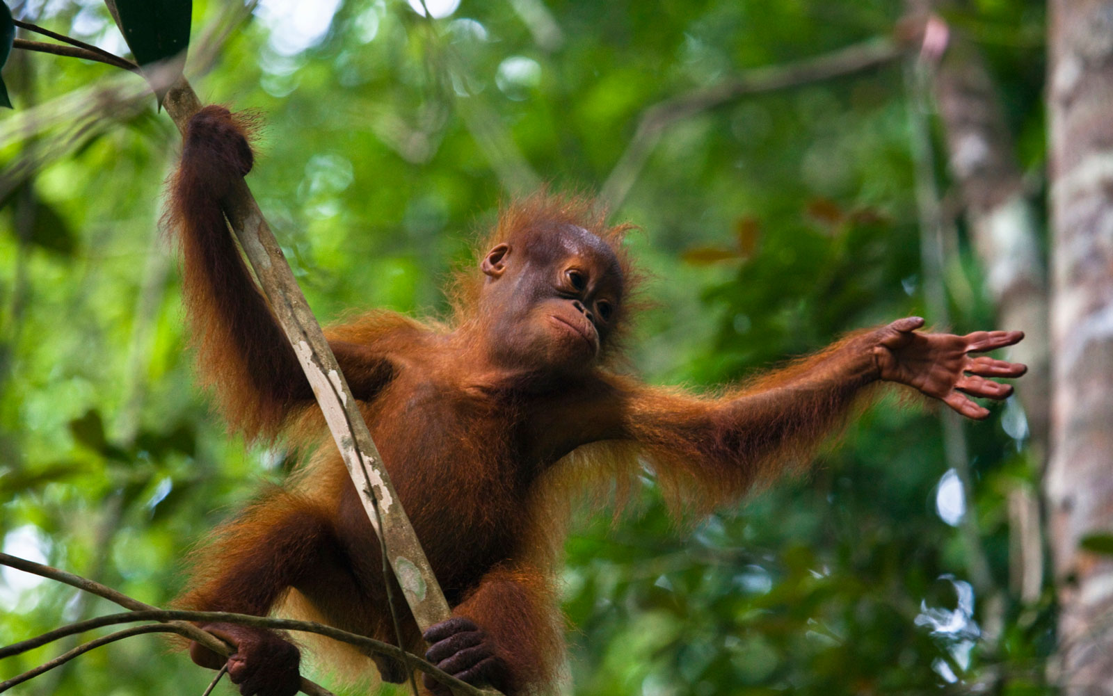 Best Places to See Baby Animals: Orangutans, Malaysia