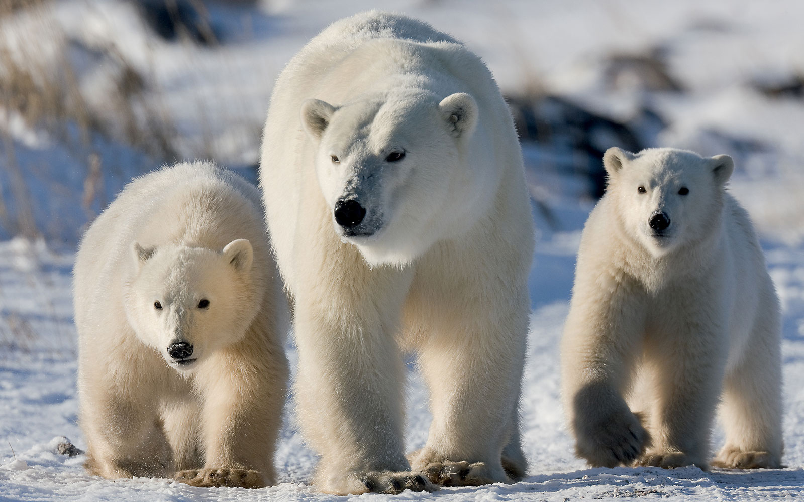 Best Places to See Baby Animals: Polar Bear Cubs, Canada