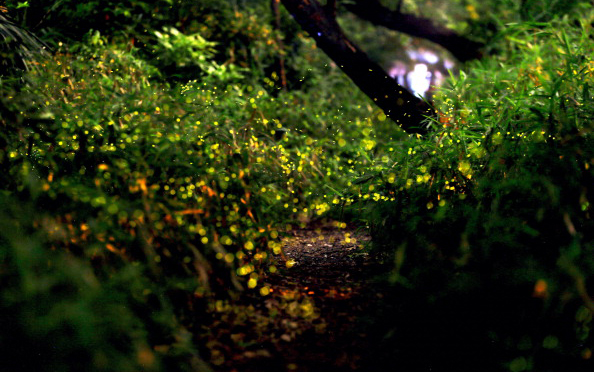 Nature's Most Spectacular Light Shows: Forest Fireflies in Nagoya City, Japan