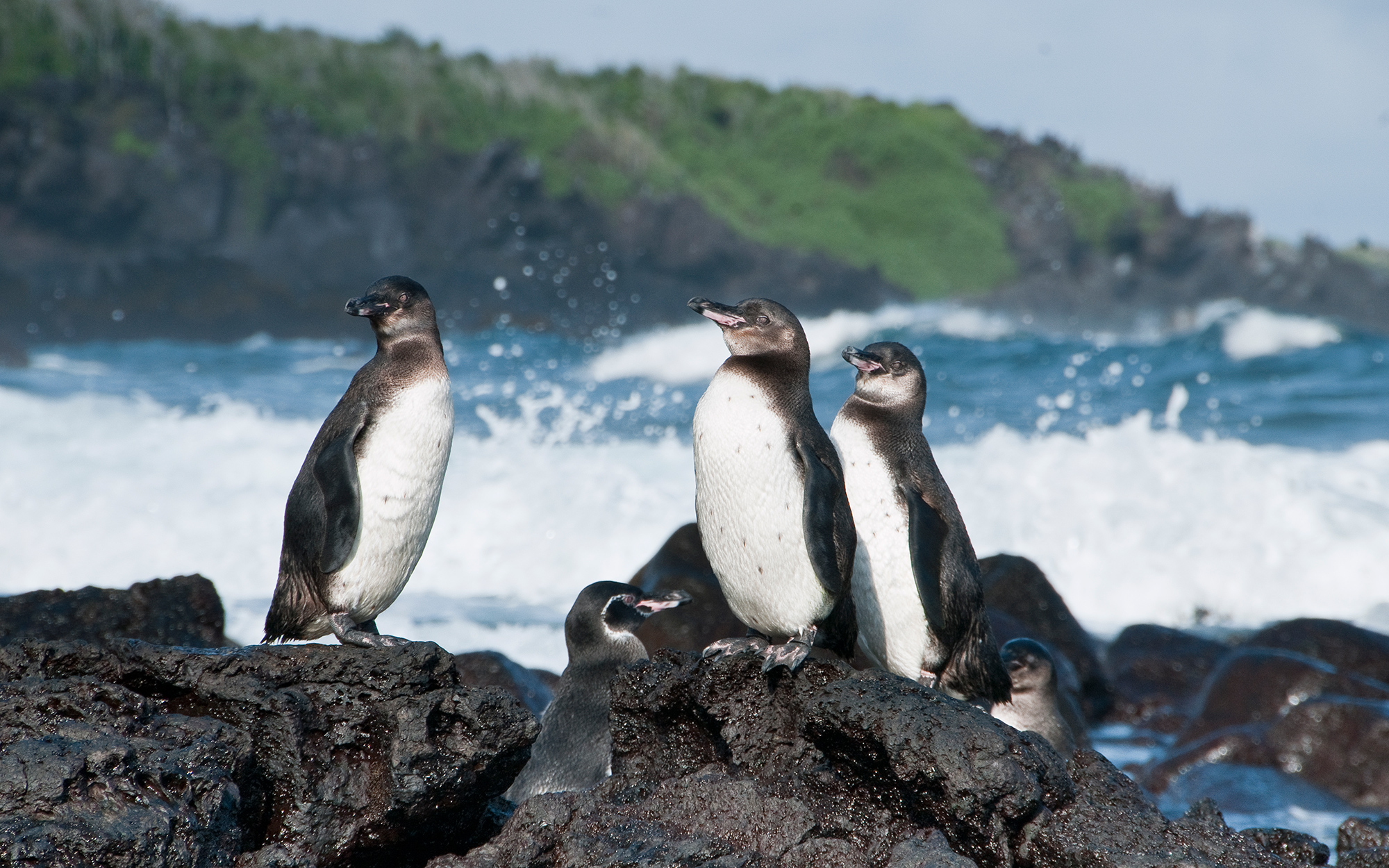 Where to See Penguins: Galapagos Islands