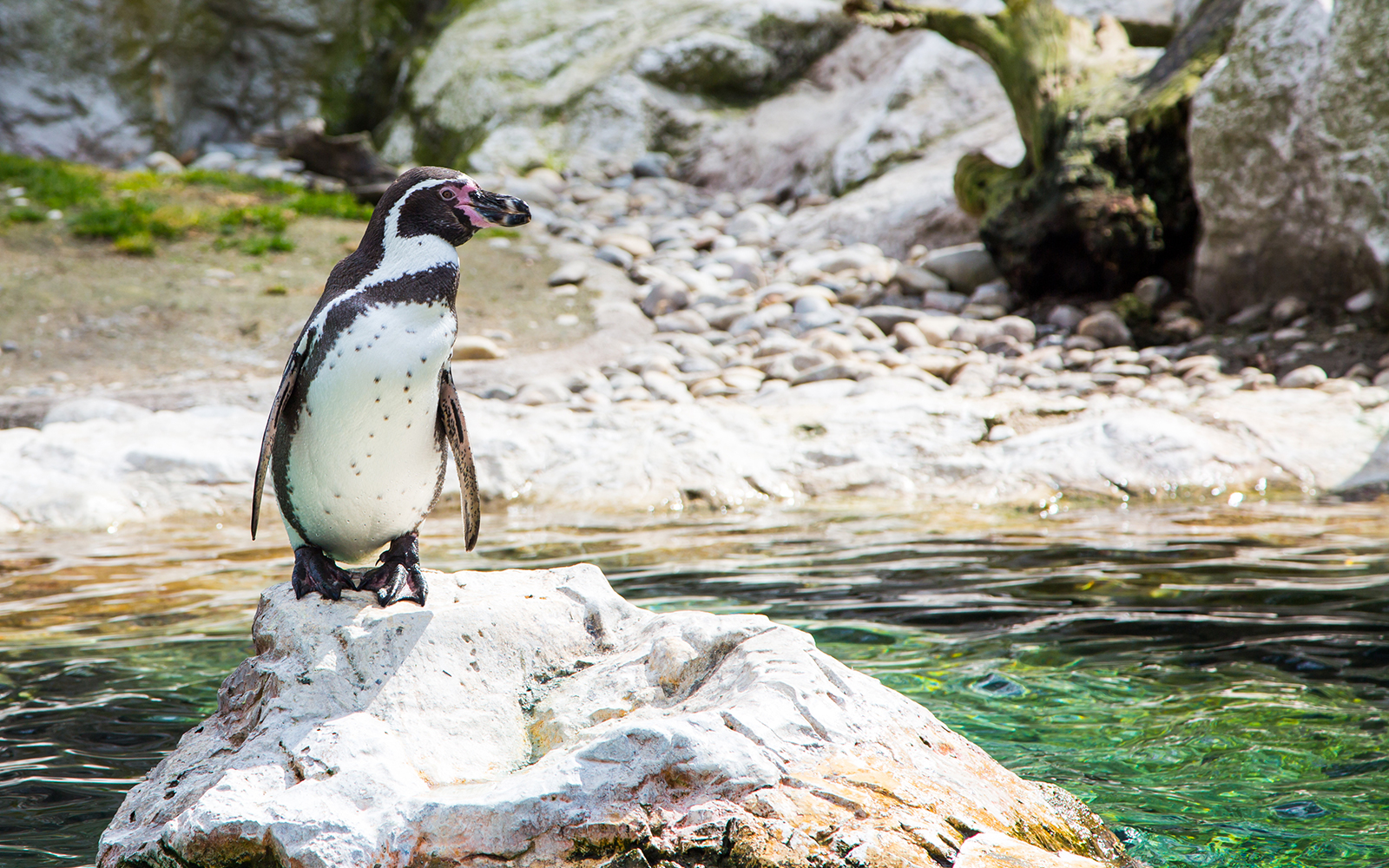Where to See Penguins: Peru