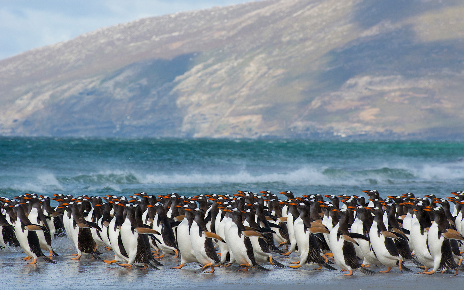 Where to See Penguins: Falkland Islands