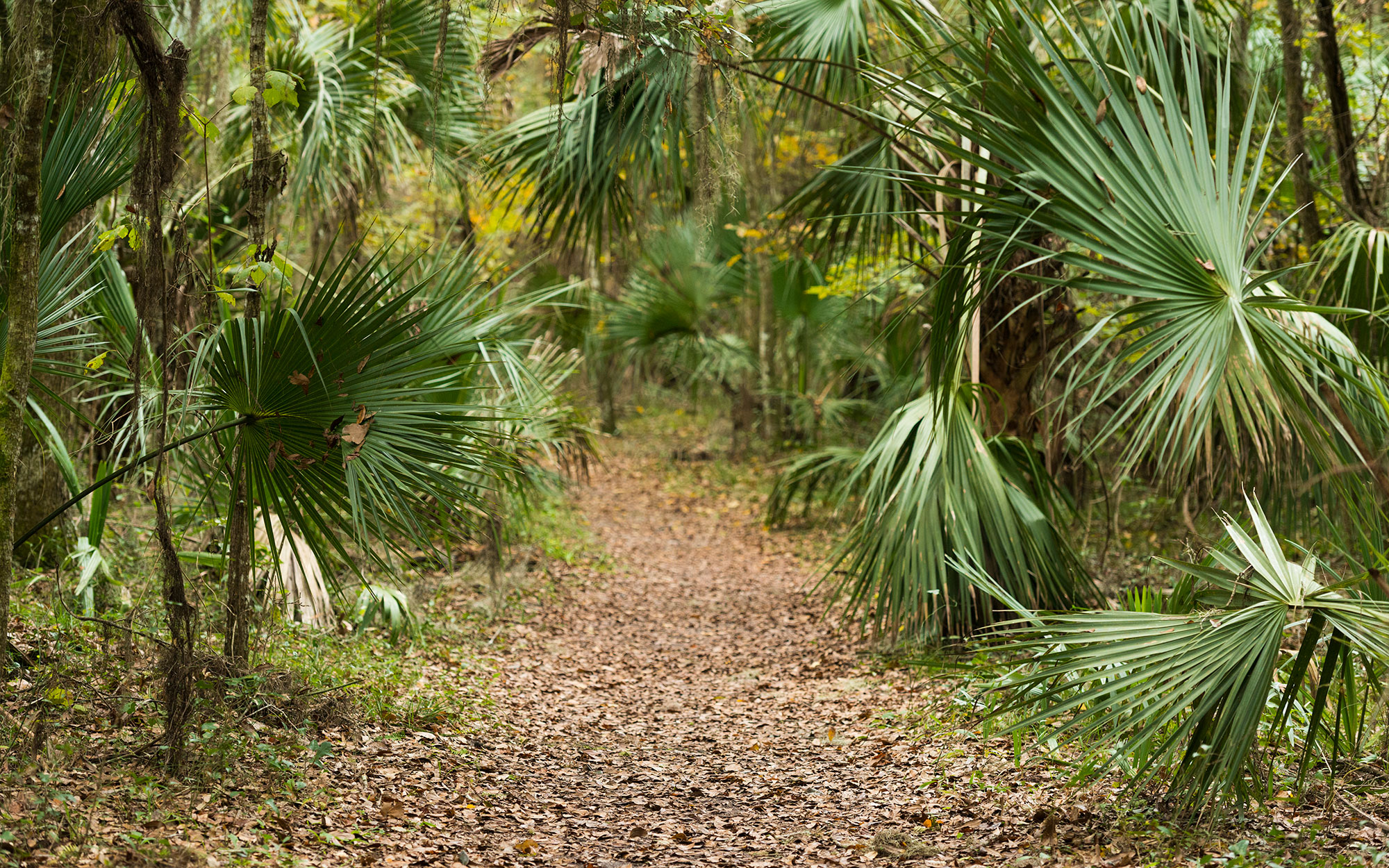 Palm Tree Lined Forest Trail in Paynes Prairie Florida