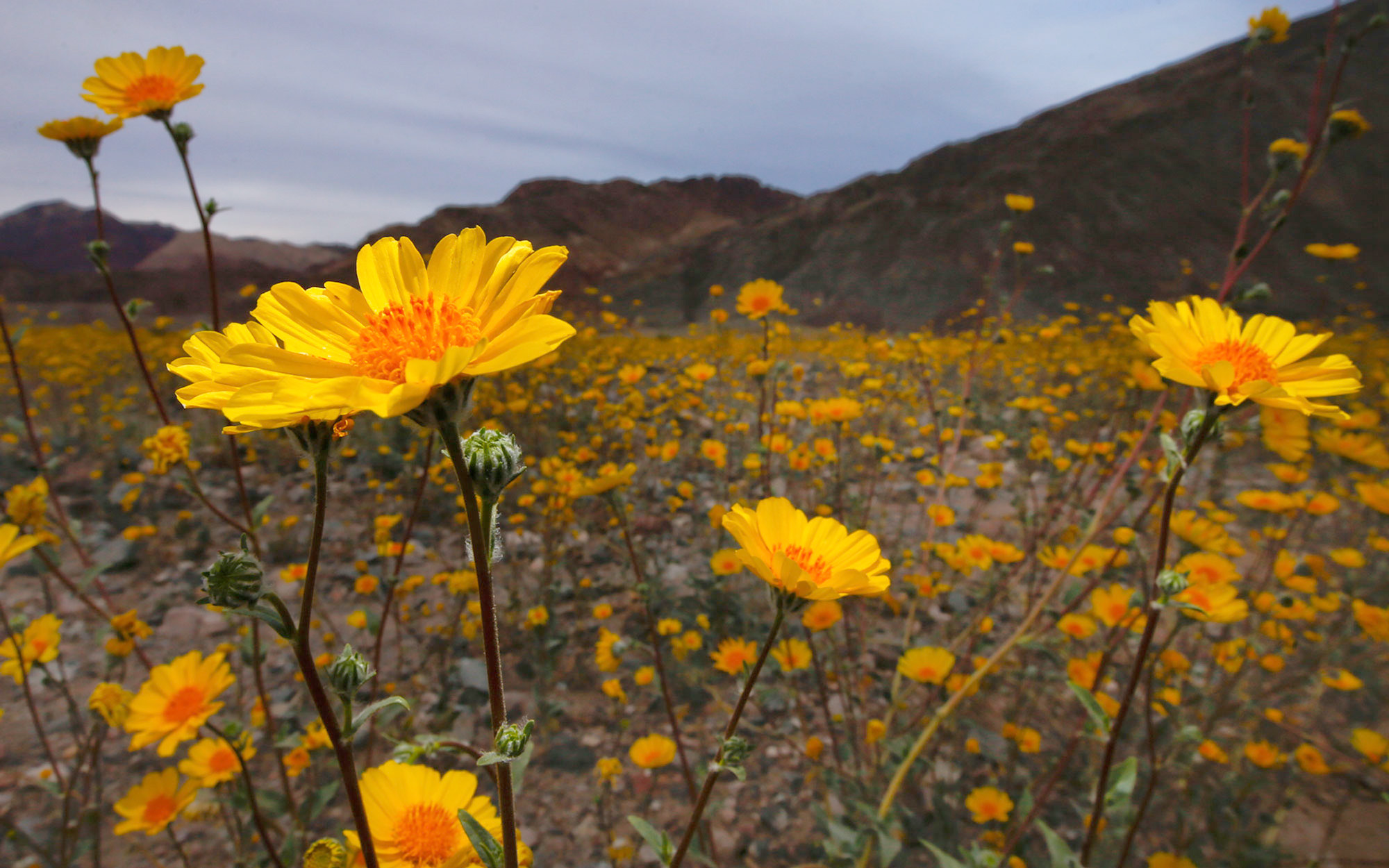 Death Valley 'Super Bloom'