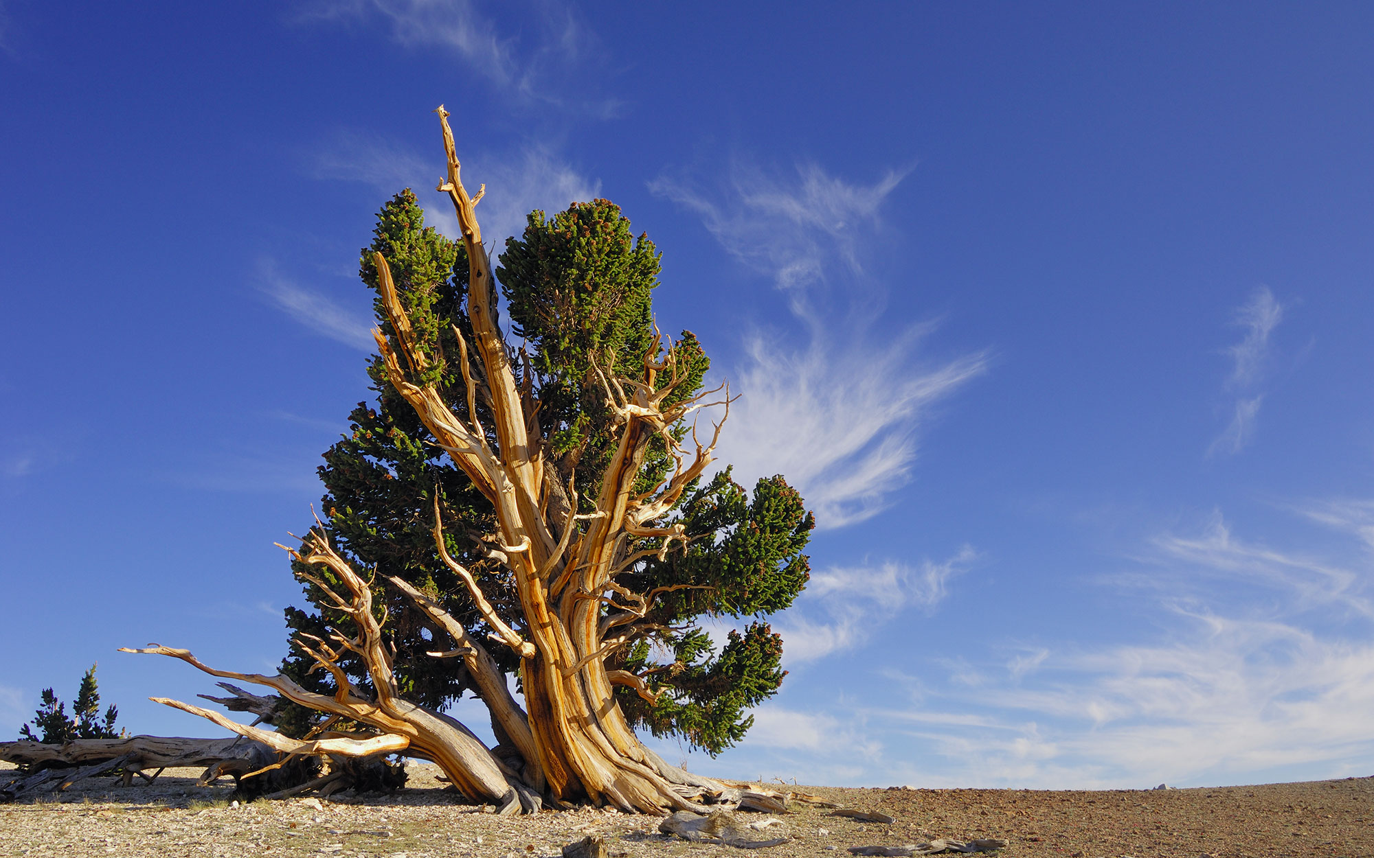 Bristlecone Pines in Bryce Canyon and the Great Basin