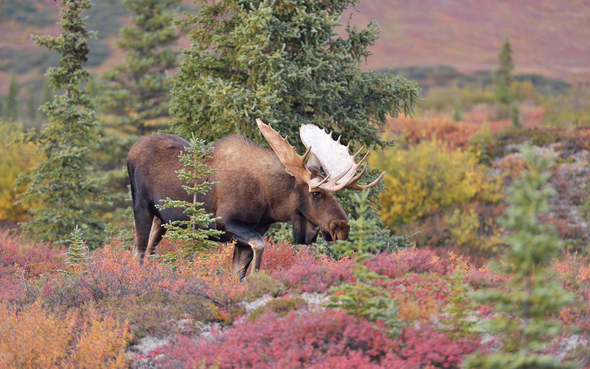 Bull Moose in Denali, Grand Teton, and Others