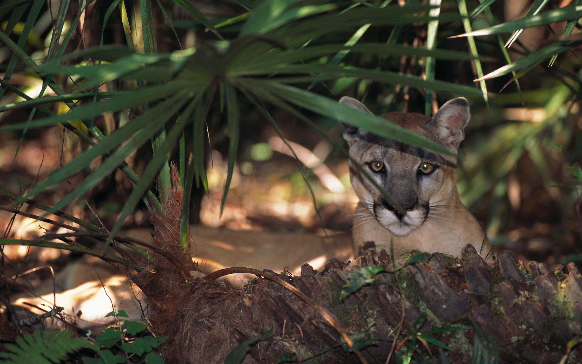 Endangered Florida Panther in the Brush