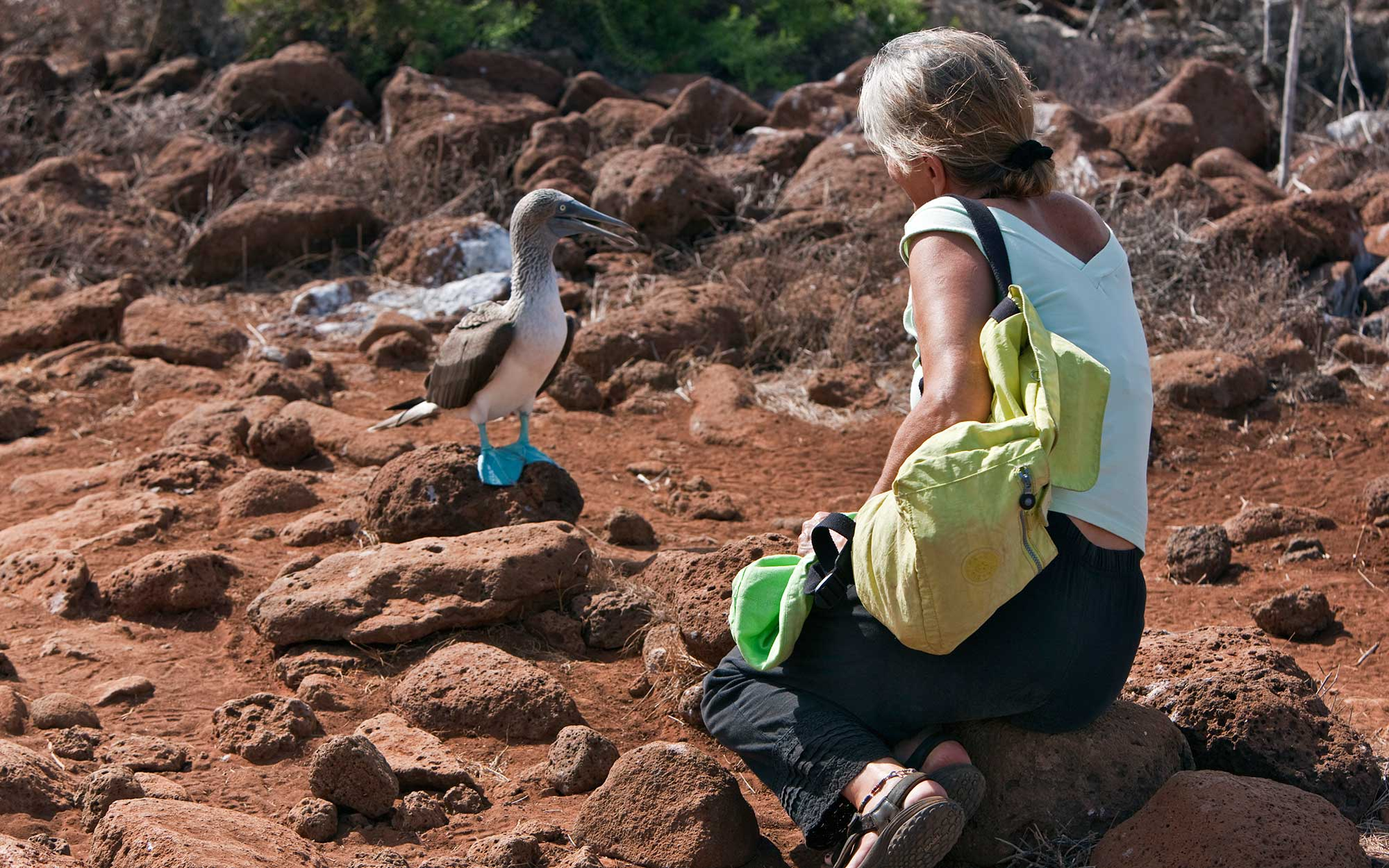 Galapagos Islands, A blue-footed booby on North Seymour island shows no fear of a visitor.